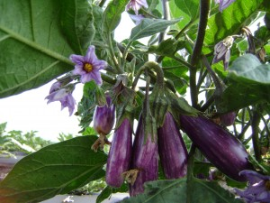 Fairy Tale Eggplant hang in clusters