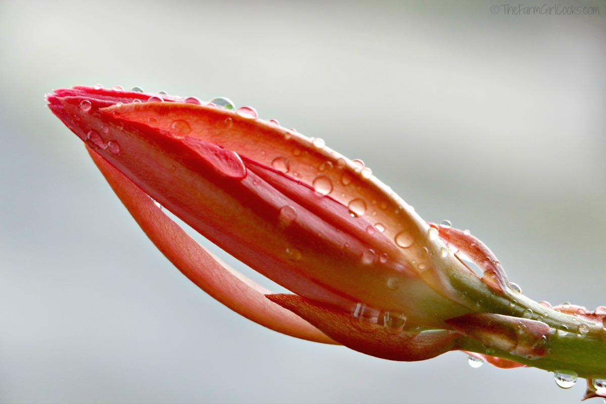 cactus flower 011